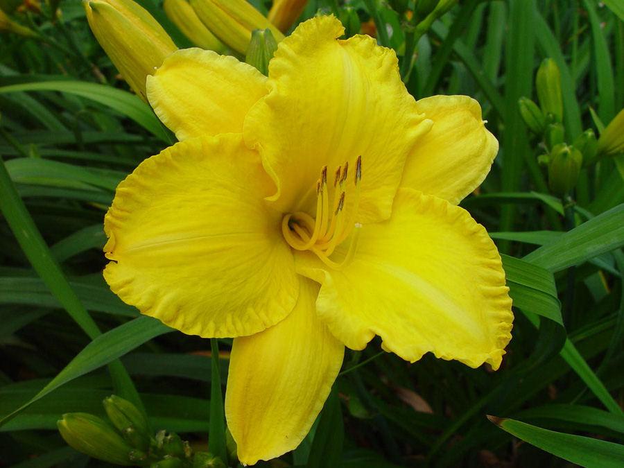 Hemerocallis Europa : Tamberg Registered Daylilies made in Europe